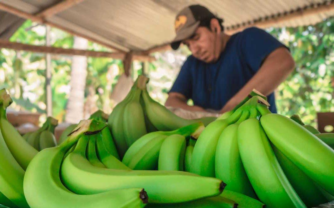 Qué necesito para implementar tecnología en la producción de banano
